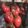 洞头育苗厂西红柿苗 大红番茄苗基地