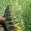 瑞安番茄苗批发基地 口感西红柿苗育苗厂
