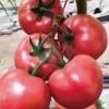 黄冈西红柿育苗基地 口感番茄苗批发