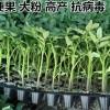 随州育苗厂西红柿苗 大红番茄苗基地
