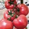 濮阳西红柿育苗基地 抗死颗番茄苗厂