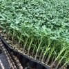 信阳西红柿苗普罗旺斯 批发口感番茄苗厂